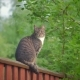 A Gray Tabby Cat Sits on a High Fence and Watches - VideoHive Item for Sale