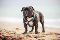 French bulldog standing on the beach