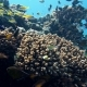 School of Fishes Vanikoro Sweeper Swims Near Coral Reef in Red Sea. Egypt