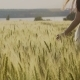 Young Girl in the White Dress Is Walking Through the Field of Wheat - VideoHive Item for Sale