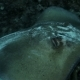 Stingray on the Sand Bottom of Caribbean Sea - VideoHive Item for Sale