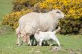 lambs suckling - PhotoDune Item for Sale