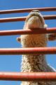 market lamb - PhotoDune Item for Sale