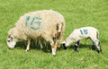 numbered sheep - PhotoDune Item for Sale