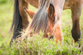 pony grazing - PhotoDune Item for Sale