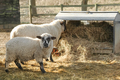 sheep feeding - PhotoDune Item for Sale