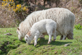 sheep grazing - PhotoDune Item for Sale