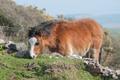 welsh pony - PhotoDune Item for Sale