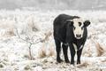 winter bull - PhotoDune Item for Sale