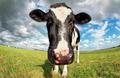 cow head close up via fish-eye lens