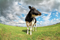 proud cow on pasture over sky