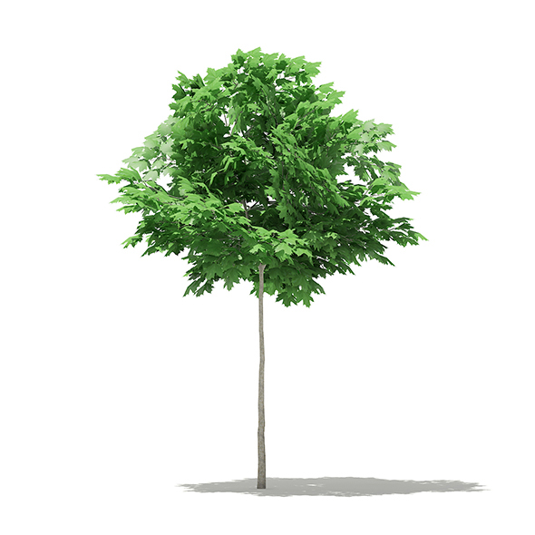 Norway Maple (Acer platanoides) 3.3m - 3DOcean Item for Sale