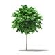 Norway Maple (Acer platanoides) 3.4m