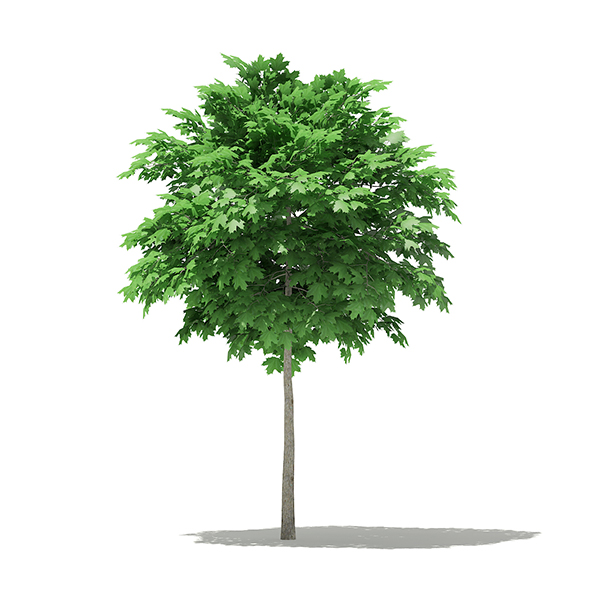 Norway Maple (Acer platanoides) 3.4m - 3DOcean Item for Sale