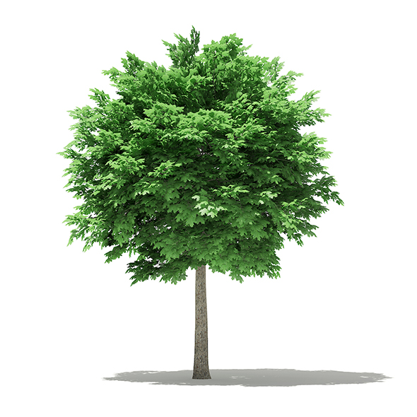 Norway Maple (Acer platanoides) 5.3m - 3DOcean Item for Sale