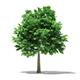 Norway Maple (Acer platanoides) 7.1m