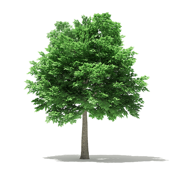 Norway Maple (Acer platanoides) 7.1m - 3DOcean Item for Sale