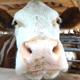 Cow - AudioJungle Item for Sale