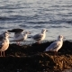 Sea Gulls Stand on the Beach and Brush Their Feathers with Their Beaks