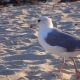 Gull Walks the Sand and Looks for Food on the Seashore
