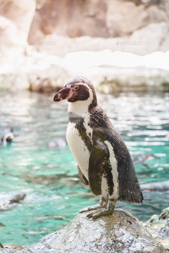 Portrait of a penguin on a rock