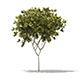 Norway Maple (Acer platanoides) 6.3m