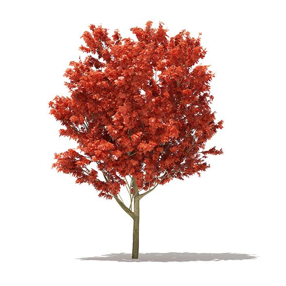 Red Oak (Quercus rubra L.) 10.8m - 3DOcean Item for Sale