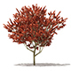 Red Oak (Quercus rubra L.) 13m