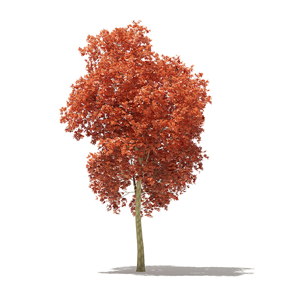 Red Oak (Quercus rubra L.) 17.7m - 3DOcean Item for Sale