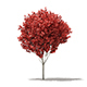 Red Maple (Acer rubrum) 5m