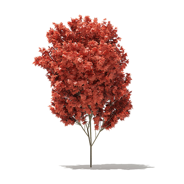 Red Maple (Acer rubrum) 4.7m - 3DOcean Item for Sale