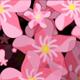 Oleander Background