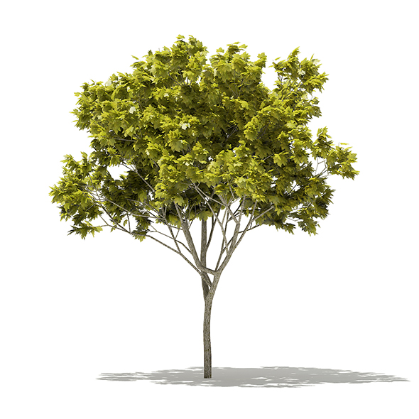 Norway Maple (Acer platanoides) 6.2m - 3DOcean Item for Sale