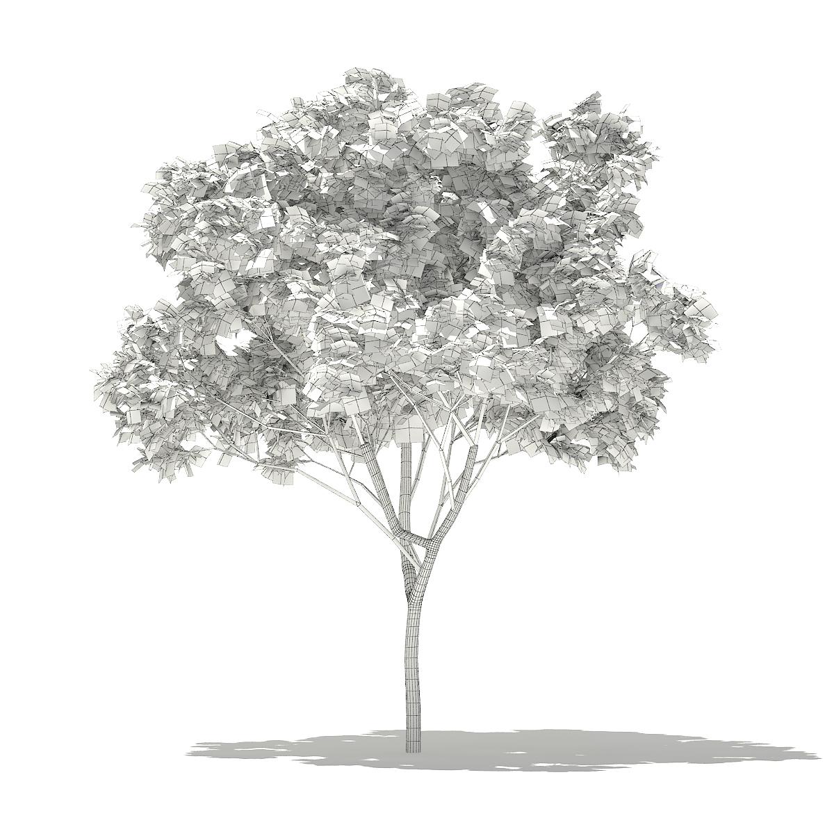 Norway Maple (Acer platanoides) 6.2m