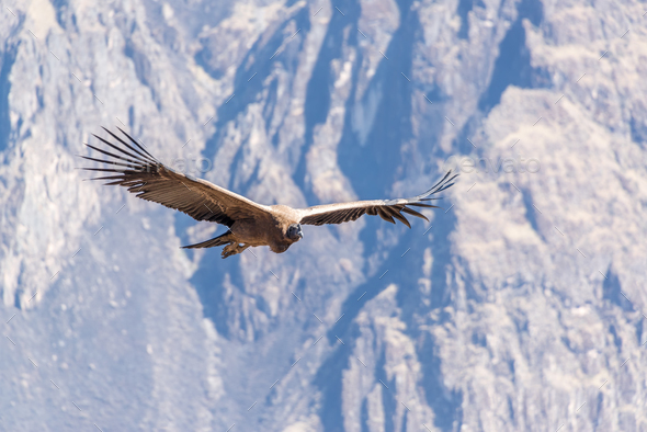 Flying Andean Condor - Stock Photo - Images