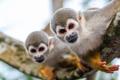 Two Squirrel Monkeys