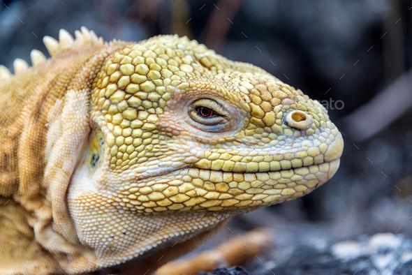 Land Iguana Closeup - Stock Photo - Images