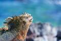 Marine Iguana and Blue Background in Galapagos