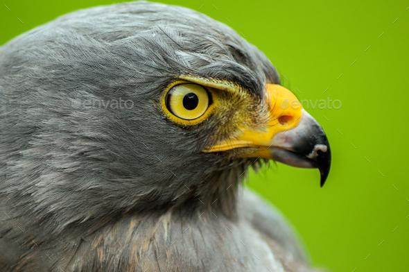 Roadside Hawk Portrait - Stock Photo - Images
