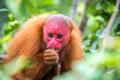 Bald Uakari Monkey - PhotoDune Item for Sale