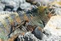 Lizard on an Iguana in Galapagos - PhotoDune Item for Sale