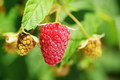 Raspberry closeup in garden - PhotoDune Item for Sale