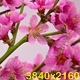 Pink Cherry Tree Flowers Blossoms - VideoHive Item for Sale