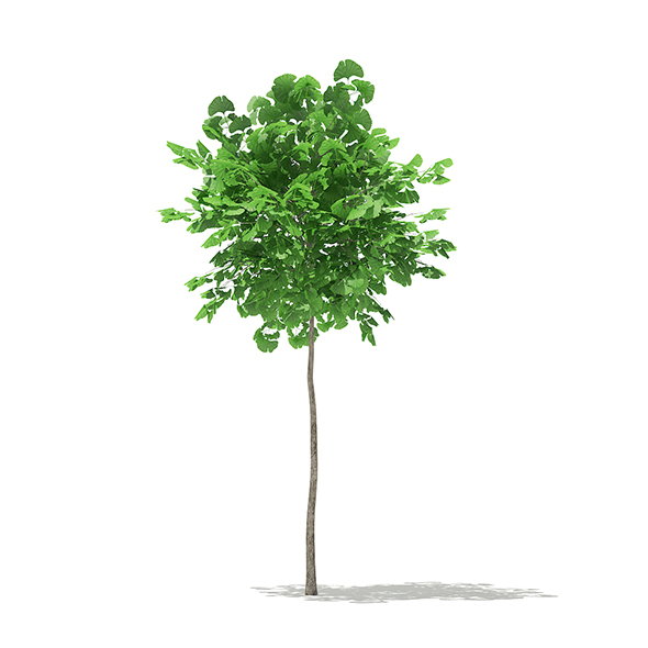 Ginkgo Tree (Ginkgo biloba) 1.8m - 3DOcean Item for Sale