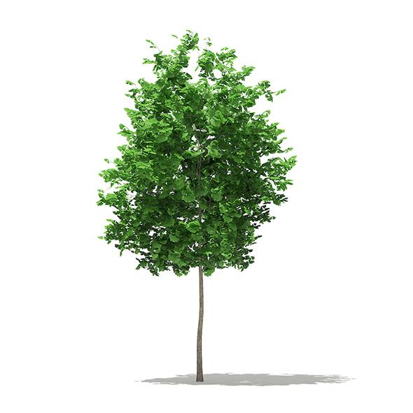 3DOcean Ginkgo Tree Ginkgo biloba 3.5m 20325724
