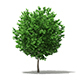 Ginkgo Tree (Ginkgo biloba) 3.6m - 3DOcean Item for Sale