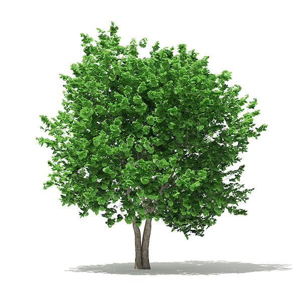 Ginkgo Tree (Ginkgo biloba) 4.3m - 3DOcean Item for Sale