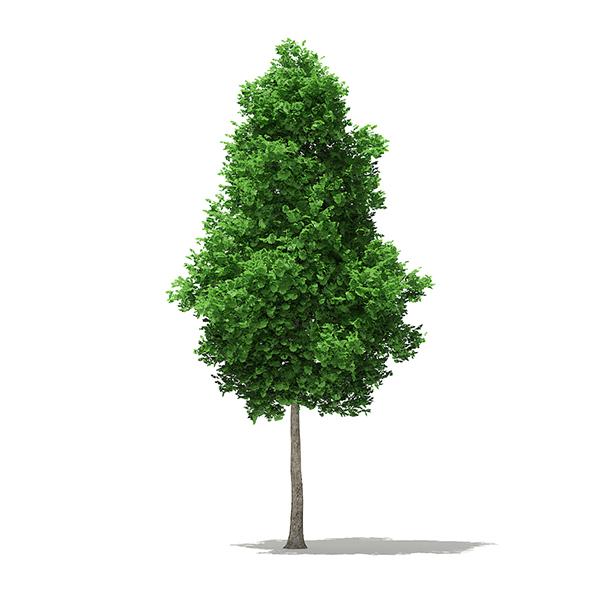 Ginkgo Tree (Ginkgo biloba) 7.4m - 3DOcean Item for Sale