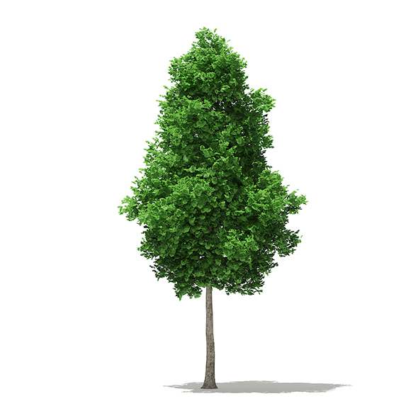 3DOcean Ginkgo Tree Ginkgo biloba 7.4m 20330879