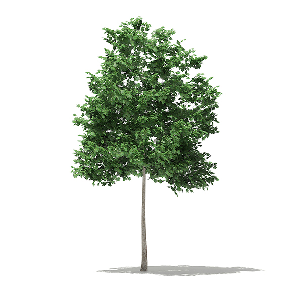 Tulip Tree (Liriodendron) 2.5m - 3DOcean Item for Sale